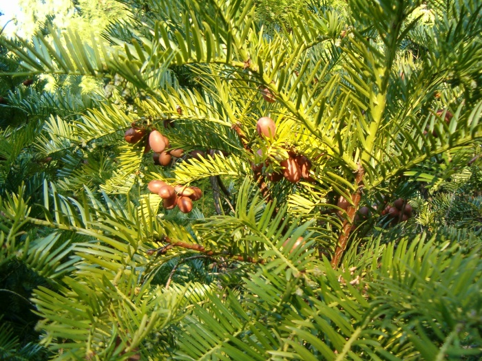 Cephalotaxus_harringtonia_BotGardBln1105WithSeeds