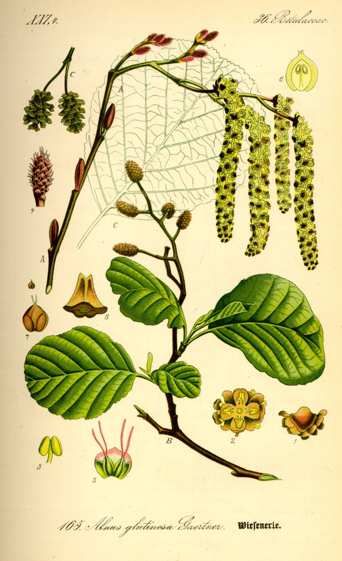 Illustration_Alnus_glutinosa0