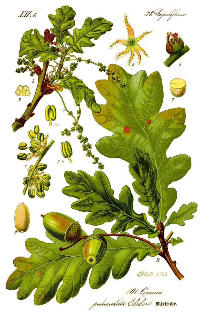 Illustration_Quercus_robur0_clean